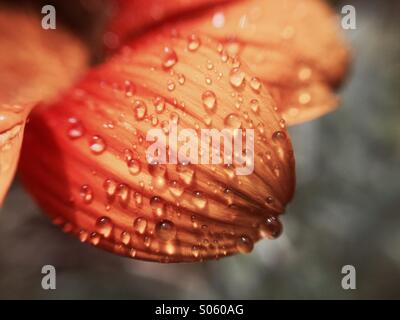 Water drops on a gazania petal - Stock Photo