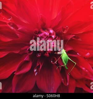 Green grasshopper on large red dahlia flower - Stock Photo