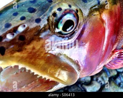 The eye of a trout - Stock Photo
