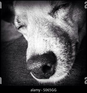 Sleepy Jack Russell - Stock Photo