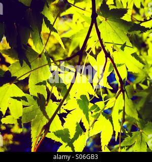 Maple leaves, Japanese Garden, autumn, Kubota Gardens, Seattle - Stock Photo