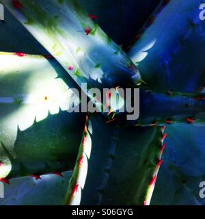 Aloe Ferox - Stock Photo