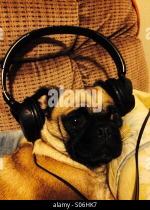 Headphone Pug - Stock Photo