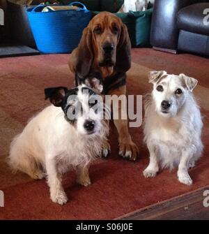 Bloodhound and two jack Russell's - Stock Photo