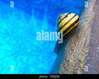 Yellow-striped snail inching its way alongside swimming pool's edge on a rainy day. - Stock Photo