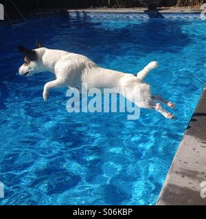 One-year-old female Jack Russell Terrier jumping into backyard pool, on a sunny late summer day. Square crop. - Stock Photo