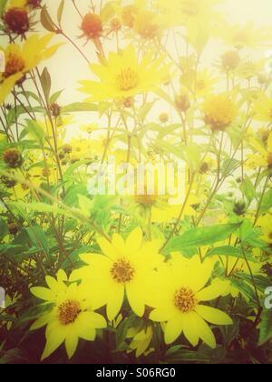 Yellow daisy flowers - Stock Photo