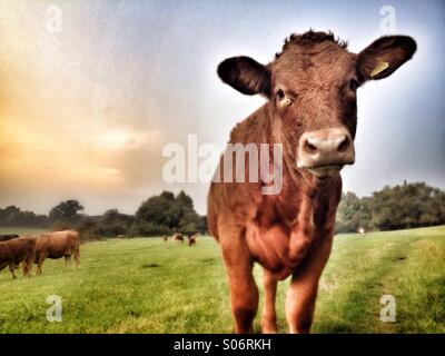 Young cow in field looking into camera - Stock Photo