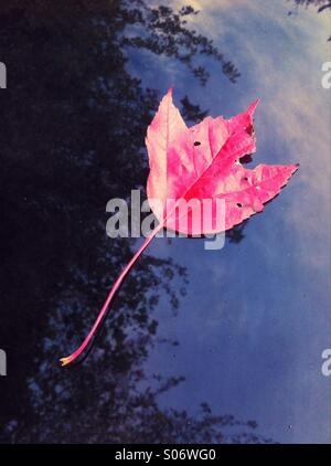 Fallen single Red Canadian Maple leaf on top of black metal car hood (bonnet). - Stock Photo
