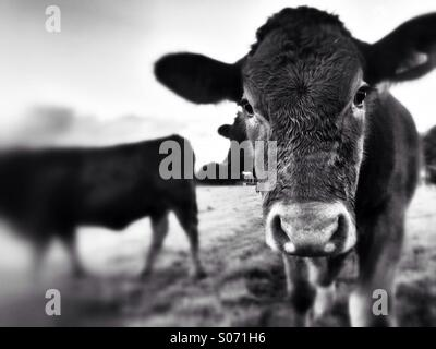 Young cow looking camera - Stock Photo