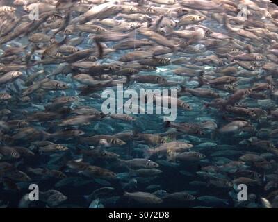 Fish in big aquarium, Loro Parque, Tenerife - Stock Photo