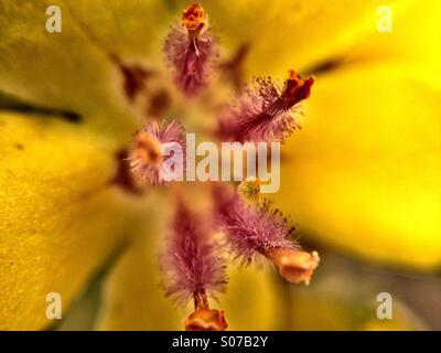 Close up of verbascum flower - Stock Photo