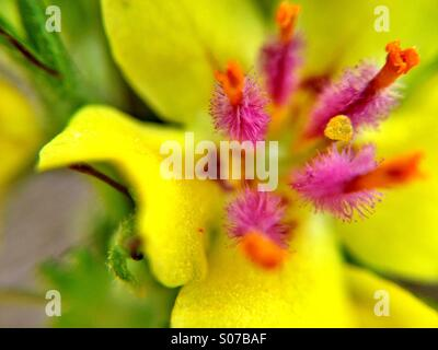 Close up of a verbascum flower - Stock Photo