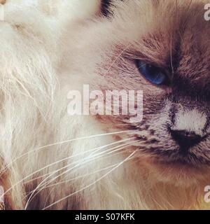 Close up of rag doll cat - Stock Photo