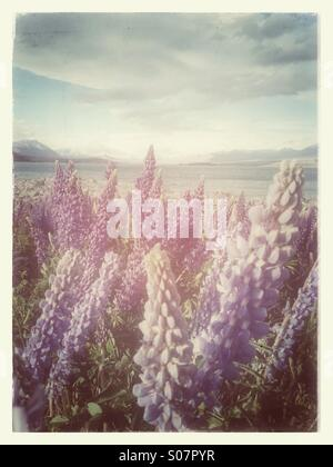 Blooming lupins in New Zealand - Stock Photo
