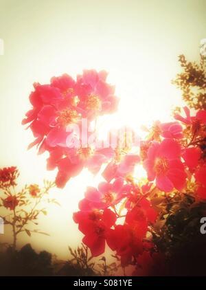 Orange rose flowers - Stock Photo