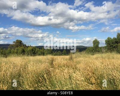 Wheat field, Victoria, Australia - Stock Photo