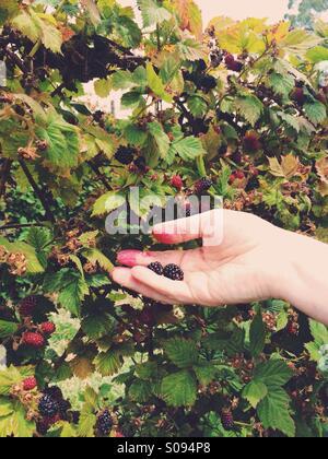 Hand picking blackberries - Stock Photo