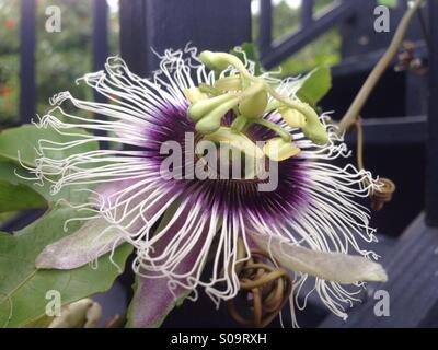 Purple lilikoi (passion fruit) flower in bloom on the vine growing up my lanai railing - Kealakekua, Big Island, - Stock Photo