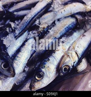 Sardines on ice - Stock Photo