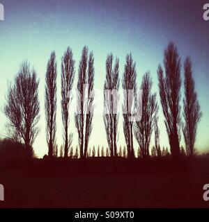 Poplar Tree shapes at sunset. - Stock Photo