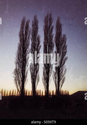 Four Poplar trees  seen against a winter sunset. - Stock Photo
