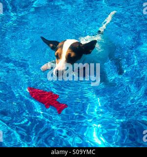 Jack Russell Terrier dog, swimming smoothly in the pool towards the red fish toy. She's focused and means business. - Stock Photo