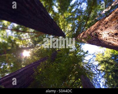 Looking up to the sky in a California Redwood tree forest. Santa Cruz County, California, USA