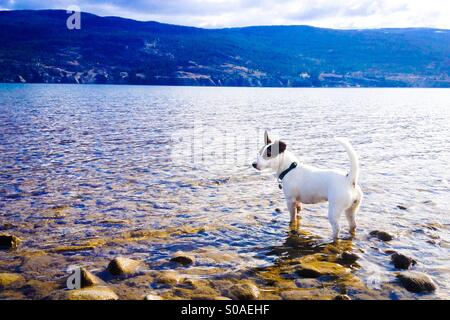 Jack Russell Terrier puppy standing in the lake at a doggy beach. - Stock Photo