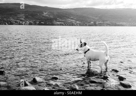 Black and white picture of Jack Russell Terrier puppy standing in the water at a doggy beach. - Stock Photo