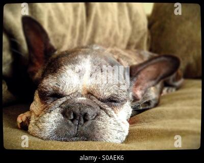 A sleeping french bulldog. - Stock Photo