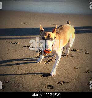 Dog wants to play fetch on the beach - Stock Photo