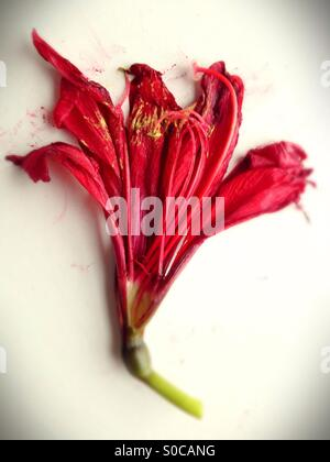 A red amaryllis flower. - Stock Photo