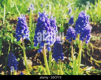 Pretty, purple Muscari or grape hyacinth on sloping hill with dirt and green grass. - Stock Photo