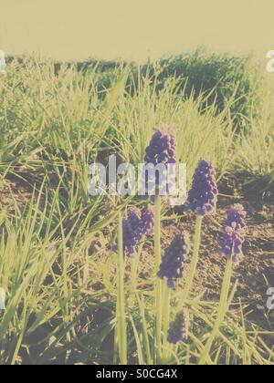 Pretty, purple Muscari or grape hyacinth on sloping hill with dirt and green grass. Warm, muted hues for a vintage, - Stock Photo