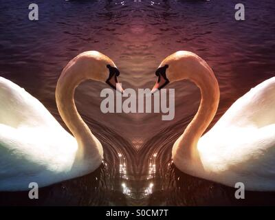 Symmetrical photo of a swan making a love heart shape with their necks - Stock Photo