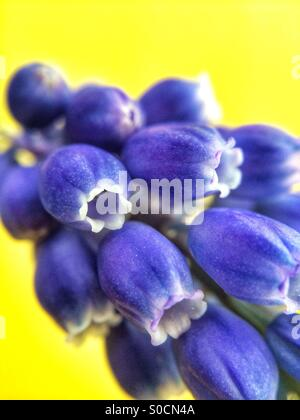 Close up macro photo of a blue Grape Hyacinth flower, also known as Muscari Armeniacum against a yellow background. - Stock Photo