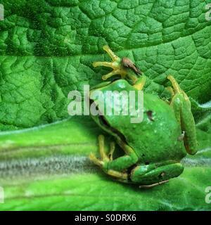 Northwest green frog on green leaf - Stock Photo