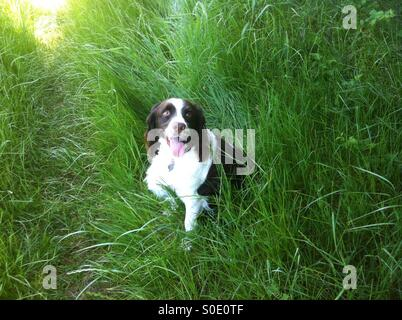 English Springer Spaniel on point in the grassy field hunting - Stock Photo