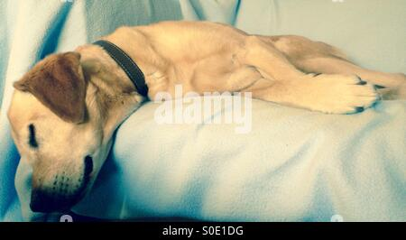 Labrador blonde dog sleeping on couch - Stock Photo