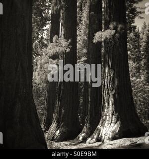 Mariposa Grove Giant Sequoia Trees, Yosemite - Stock Photo