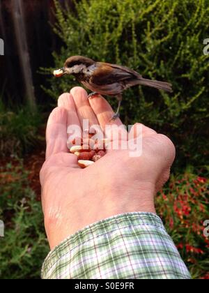 'Close encounters of the bird kind'; chickadee eating a peanut from a man's hand - Stock Photo