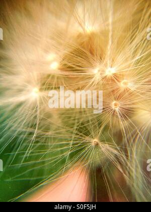Close up of a dandelion clock - Stock Photo