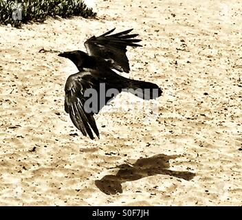 Coastal Raven takes flight from a sandy cliff at Fort Funston, California, USA. - Stock Photo