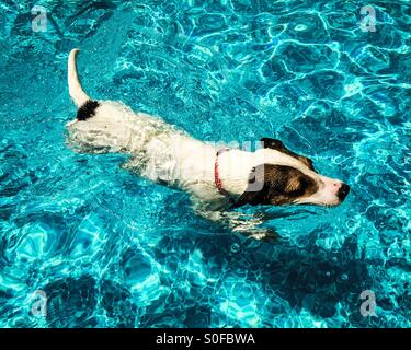 Dog swimming in outdoor swimming pool on a sunny day. - Stock Photo
