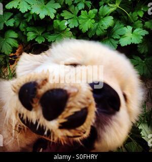 Golden retriever puppy paw - Stock Photo