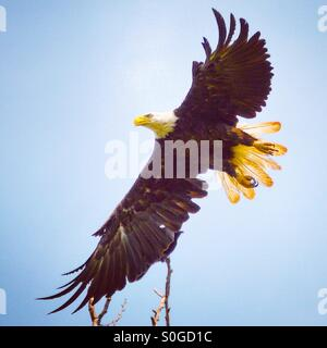 Bald Eagle on takeoff - Stock Photo