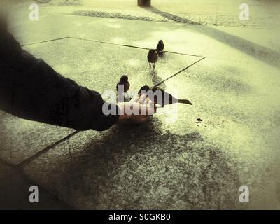 Man feeding sparrow wild birds - Stock Photo
