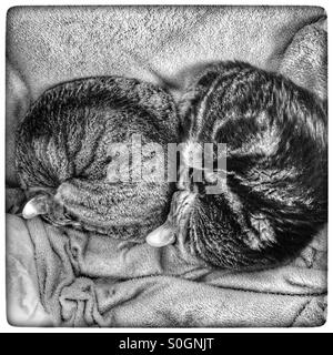 Black and white photo of two sleeping cats on a bed. - Stock Photo
