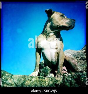 Pitbull dog postures strength, confidence on top of rock - Stock Photo